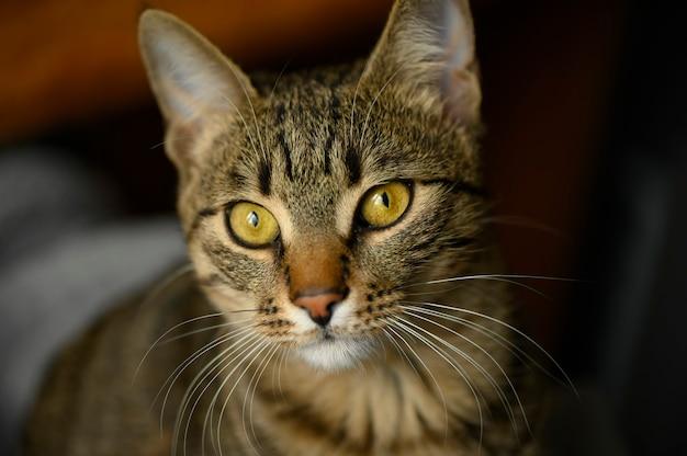 若いヨーロピアンショートヘアの猫の肖像画