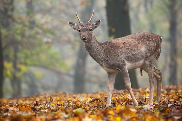 Молодые лани, стоя в лесу в осенней природе