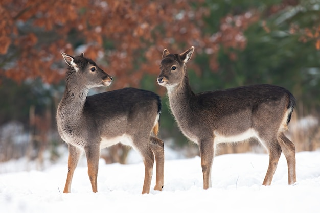 Young fallow deer standing on a meadow in winter