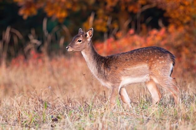 Молодые лани, стоя на поле в осенний закат.
