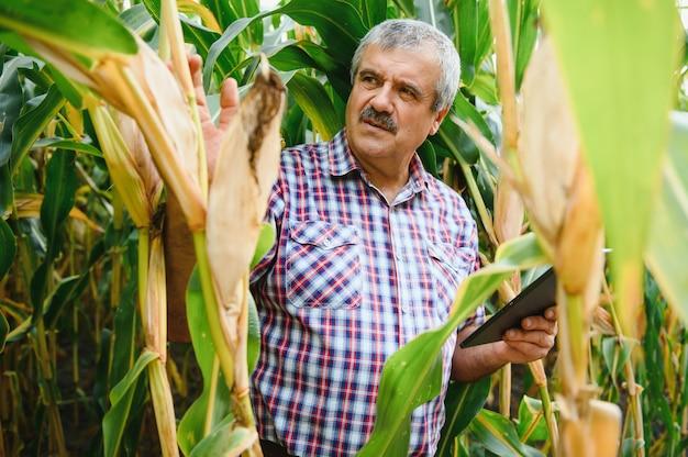 Молодой фермер исследует семена кукурузы на кукурузных полях во время сбора урожая