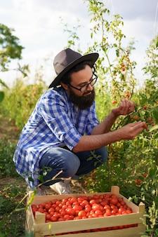 그의 정원에서 토마토를 모으는 젊은 농부. 그는 검은 모자와 안경을 쓰고 채소를 모으는 식물 근처에 앉아 있습니다.