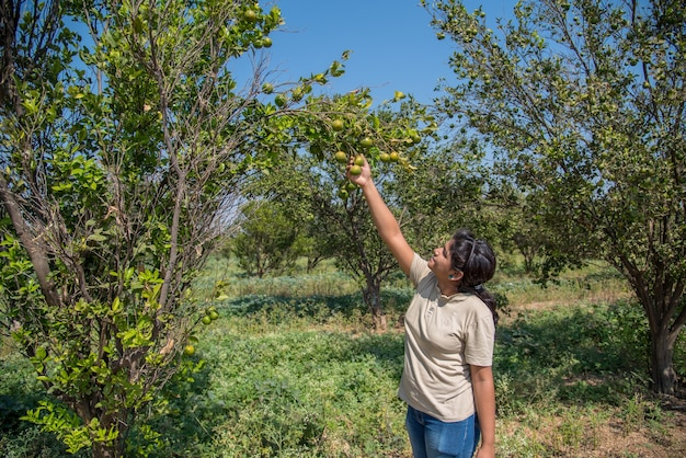 Young farmer girl holding and examining sweet oranges from trees in hands.
