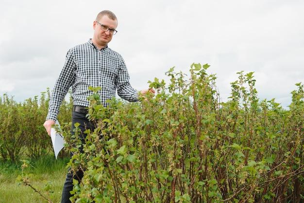 若い農夫はスグリ畑を検査します