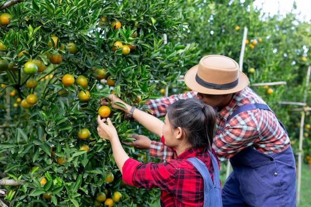 젊은 농부는 오렌지를 수집