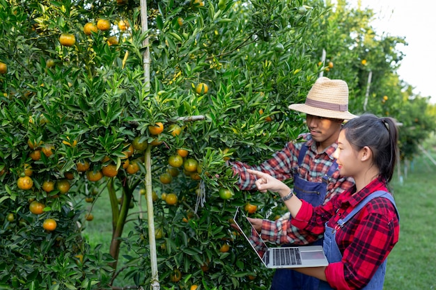 Young farmers are collecting orange