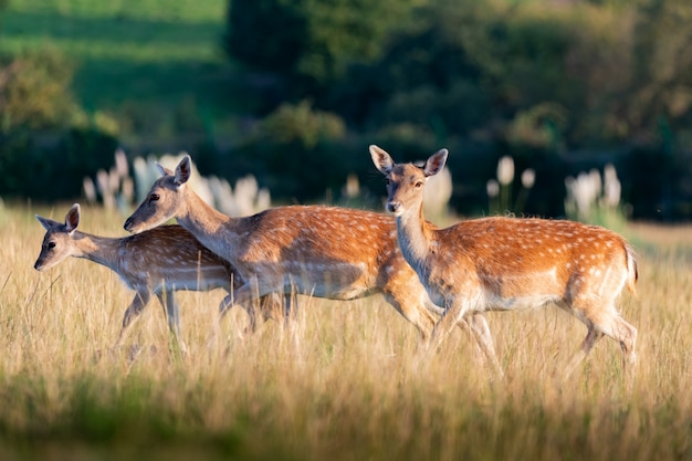 Young fawns in the countryside
