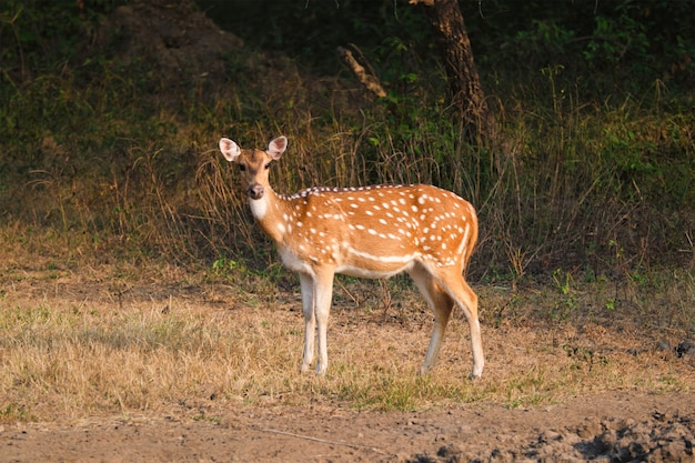Young female chital or spotted deer in ranthambore national park. rajasthan, india