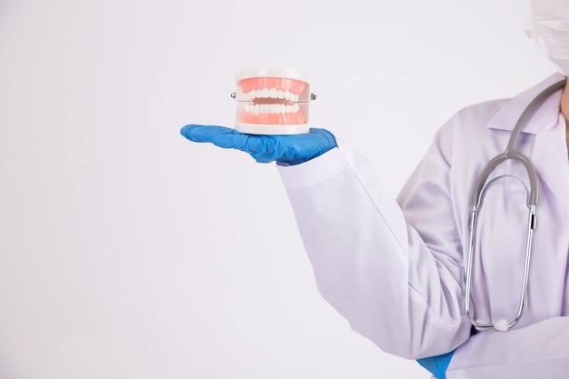 若い女性歯科医が歯の歯のモデルをクリーニングします。健康な歯のケア。