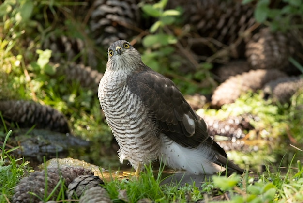Young female eurasian sparrow hawk at a water point in summer in a pine forest