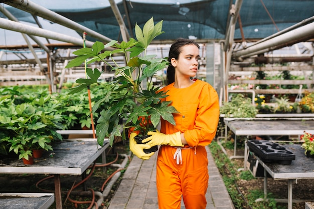 Young female gardener holding fatsia japonica pot in greenhouse
