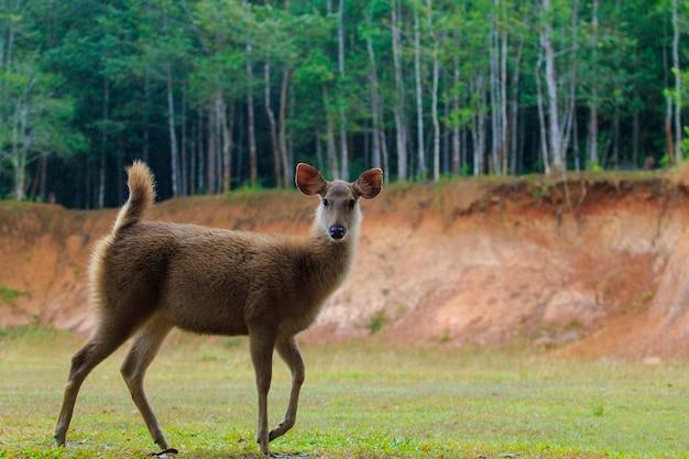 Молодая самка оленя самбар в национальном парке кхао яй, таиланд