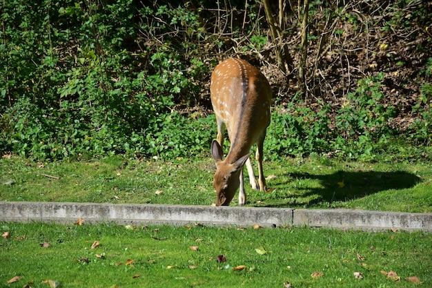 秋の公園を歩いて、コンクリートの道端の境界の近くで草を食べる若い女性のニホンジカの雄鹿