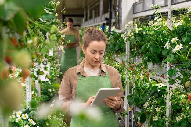 温室または垂直農法の若い女性労働者は、男性に対してイチゴの苗と棚の間に立っている間、タブレットでスクロールします