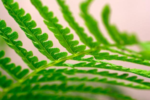 Young fern leaf. a leaf of fern close-up