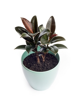 Young ficus melany - one of the varieties of ficus elastica
