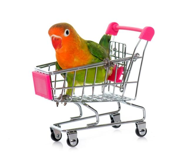 Young fischeri lovebird in trolley