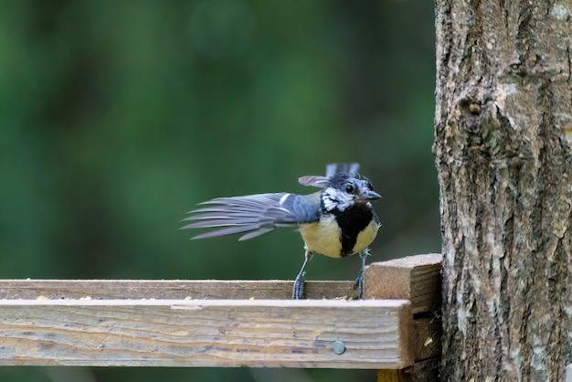 Молодой синица ищет пищу на деревянном подносе, заполненном семенами