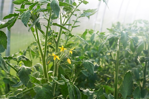 Young flowering tomato plants in the greenhouse. the concept of growing useful ovshes at home in the spring.