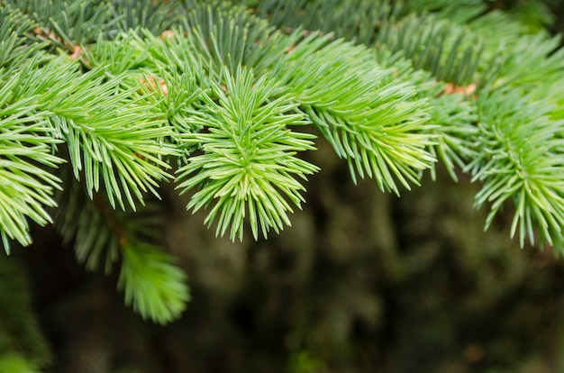 Young fluffy spruce, close up branch in the garden