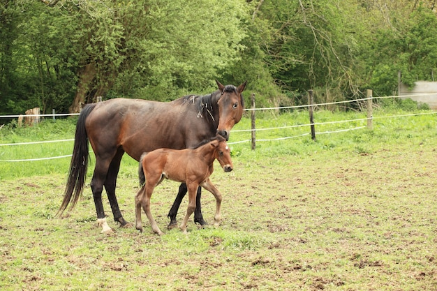 Young foal with his mother in a field in spring