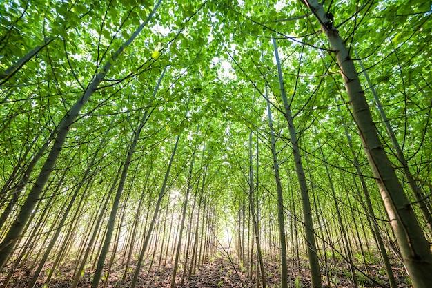 밝은 녹색 잎, 여름 풍경 젊은 숲