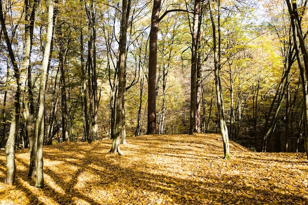 Молодой лес с лиственными деревьями, покрытыми осенней желтой листвой перед опаданием листьев, городской парк бабьим летом, солнечный теплый день