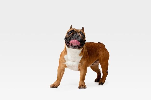 若いフレンチブルドッグがポーズを取っています。かわいい白いブラウンの犬やペットが遊んでいて、白い壁に孤立して幸せそうに見えます。動き、動き、行動の概念。ネガティブスペース。