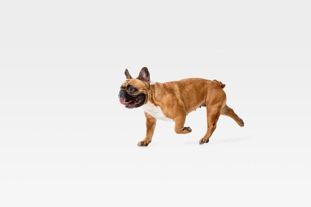 若いフレンチブルドッグがポーズを取っています。かわいい白いブラウンの犬やペットは、白い壁に孤立して遊んで、走って、幸せそうに見えます。動き、動き、行動の概念。ネガティブスペース。