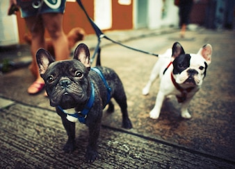 Young french bulldogs with leashes walking on steet side