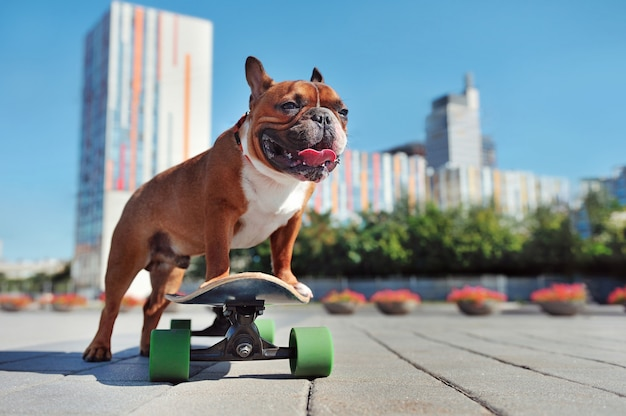 Young french bullgod with a skateboard in the city