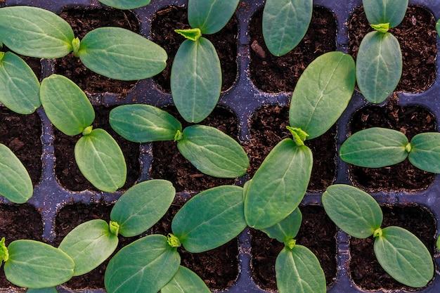 젊은 신선한 오이 묘목은 플라스틱 냄비에 서 있습니다. 온실에서 오이 재배. 오이 묘목 새싹