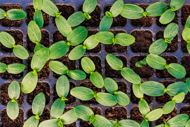 Young fresh cucumber seedling stands in plastic pots. cultivation of cucumbers in greenhouse. cucumber seedlings sprout