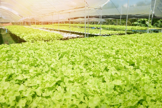 Young and fresh lettuce salad green oak growing garden hydroponic farm plants on water without soil agriculture outdoors organic for health food, green house vegetable hydroponic system