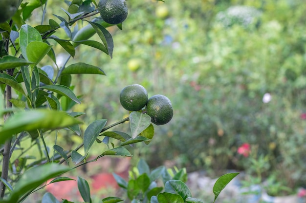 나무에서 자라는 젊은 신선한 오렌지 과일을 닫습니다.