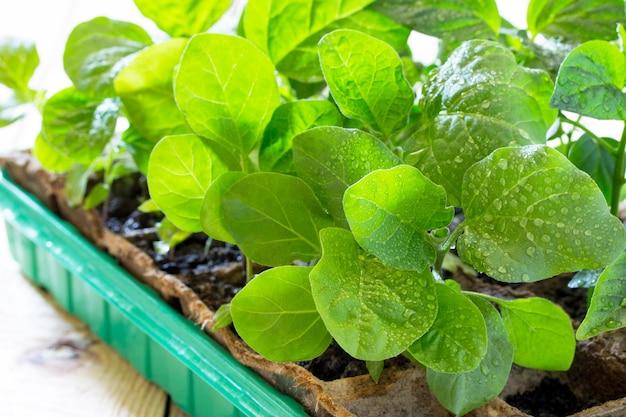 젊은 신선한 모 종 나무 테이블에 컨테이너에 선다. 가지 농장. 온실에서 가지 재배.