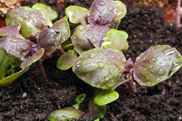 Young fresh sprouts of purple basil plant spicy fragrant greens in a garden bed close-up macro photography