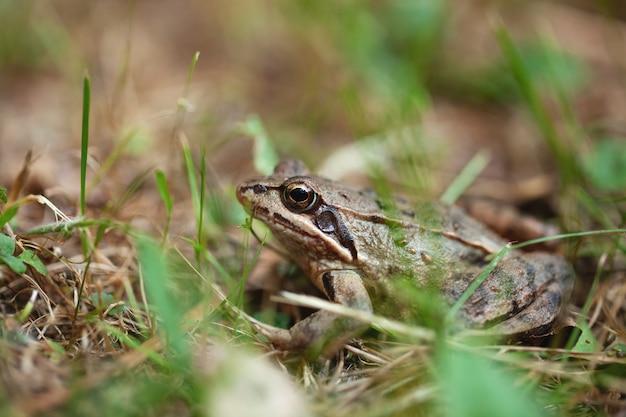 Молодая лягушка прячется в траве