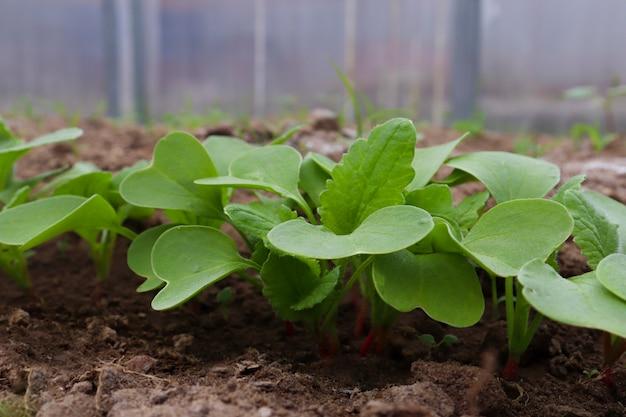 Молодые редис в теплице крупным планом весной