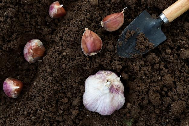 若いニンニクのクローブが地面に植えられています。ニンニクと植栽用ヘラの上面図。にんにくがたっぷり、野菜のマクロ写真。庭で育つ健康野菜
