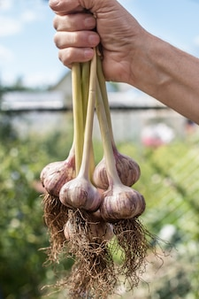 A young garlic is just plucked