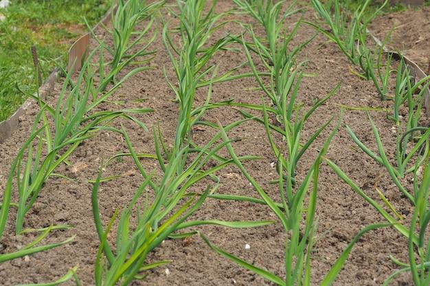 봄에는 침대에 어린 마늘 새싹이 돋아납니다. 집 근처 농업
