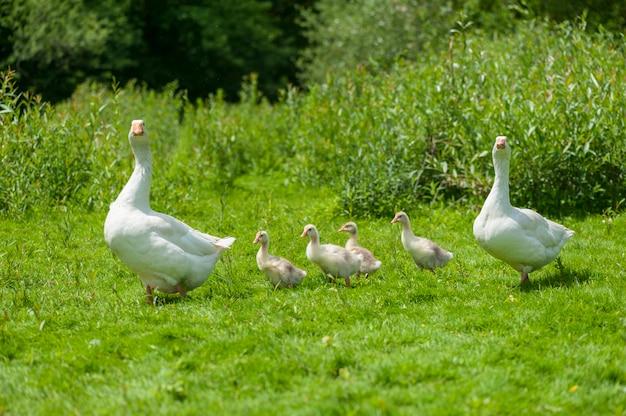 Молодые гуси с матерью на фоне природы летом