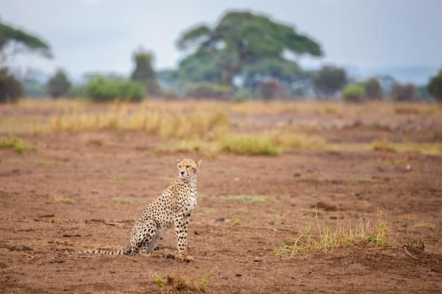 若いゲパールはケニアのサファリ、サバンナに座っています。