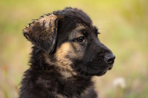 A young german shepherd