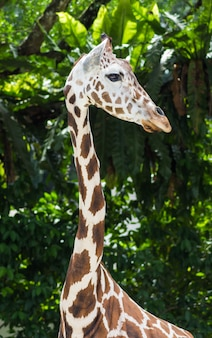 Young giraffe at the zoo