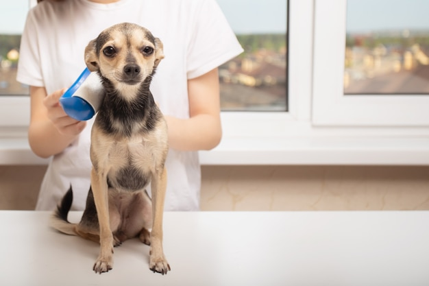 집에 있는 어린 소녀가 머리에서 작은 개를 청소합니다