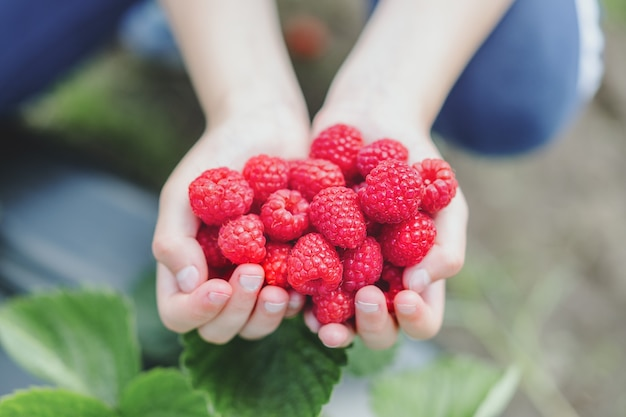 Young girl holding picking fresh raspberries and showing in hands. closeup