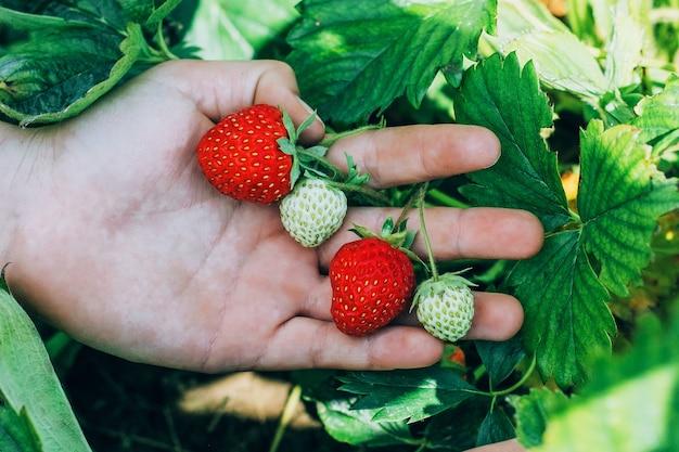 若い女の子は庭から熟したイチゴを摘み取りました