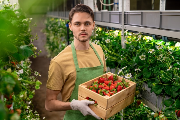 Young gloved serious worker of vertical farm or hothouse holding wooden box with heap of ripe strawberries while standing between shelves